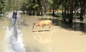 Deer in flood