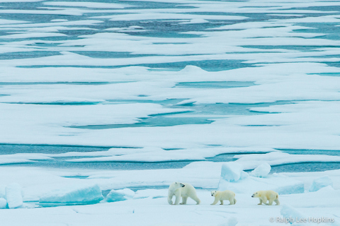 Polar Bears, Lancanster Sound, Northwest Passage, Canadian Arctic, Canada