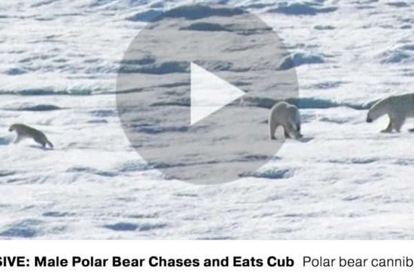 Screen shot of polar bears fighting