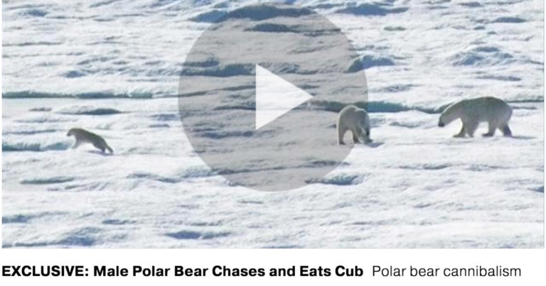 National Geographic Exclusive Video: Polar Bear Cannibalizes Cub