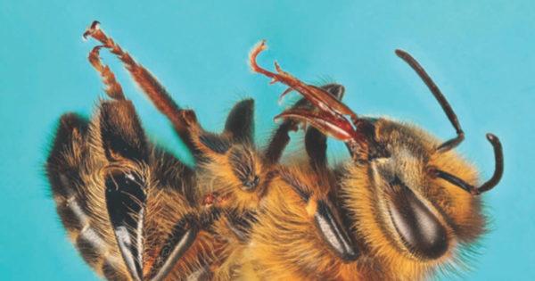 Dead honeybee on its back