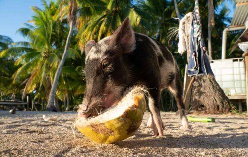 Tropical piggy eating a coconut