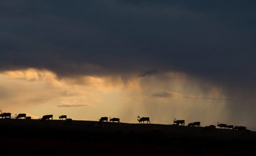 A herd of reindeer in Russia's far east.
