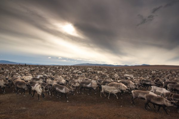 Reindeer in Russia's far east.